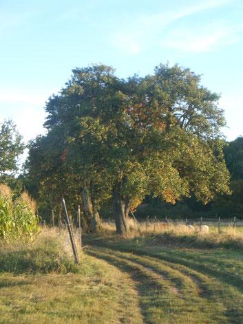 Alte Birnbäume unterhalb der Burg Trifels, Annweiler