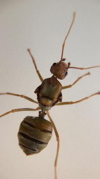 oecophylla longinoda Gyne/koningin (Wever mieren) Exotisch miersoort.