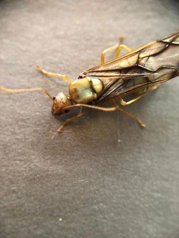 oecophylla longinoda Gevleugelde Gyne/koningin (Wever mieren) Exotisch miersoort.