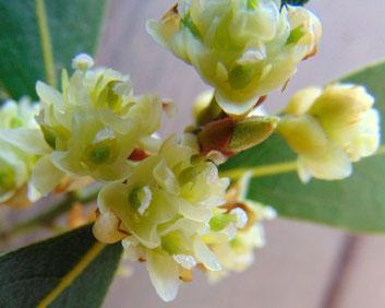 Fleurs de laurier noble, caractéristiques des Lauracés, petites, simples et discrètes