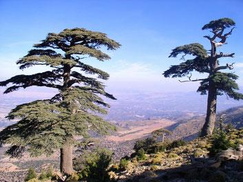 Cedrus_atlantica_Montagne_de_Tichoukte_Maroc