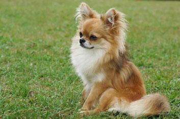 Pourquoi aime-t-on autant le chien poil long ?