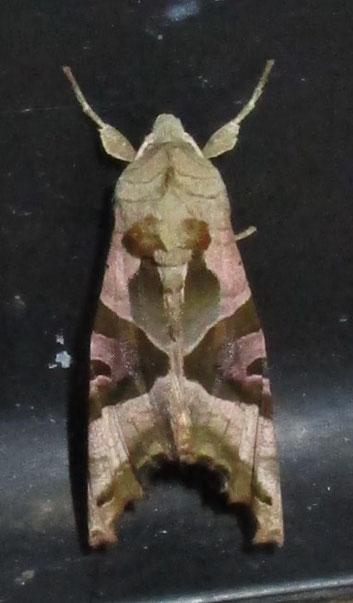 Angle shades moth Phlogophora meticulosa