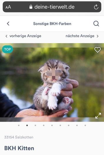 """(Betrug im Internet! Im Inserat-Text steht """"BKH"""", auf den Bildern sieht man """"Scottish Fold"""", absichtlicher Betrug, Quelle: Screenshot, diene-tierwelt.de, 22.08.2020)"""