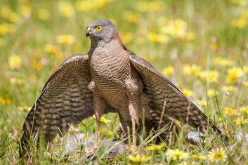 Falke mit erlegter Beute - Foto von Georgina Steytler