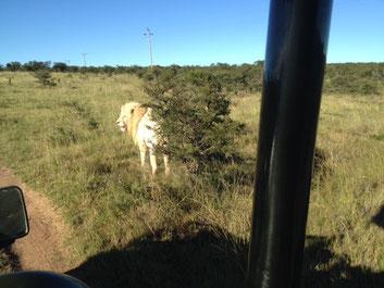 Der Ranger fuhr nach dem Geschmack des Journalisten etwas gar nah ans seltene Tier.
