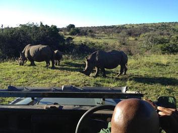 Diese Nashörner hatten bisher Glück: Sie blieben bisher von Wilderern verschont.