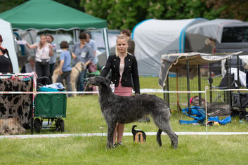 """Scottish Deerhound Zucht """"von Alshamina"""" in Deutschland/Rheinland-Pfalz, Züchterin Nadja Koschwitz! Unsere Deerhound Welpen wachsen alle gemeinsam mit der Familie im Haus auf! Deerhound Welpen FCI/VDH/DWZRV!"""