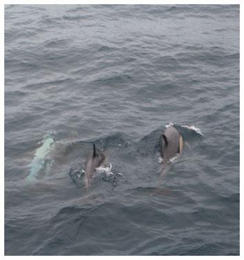 Delfine vor der Küste von Sao Miguel