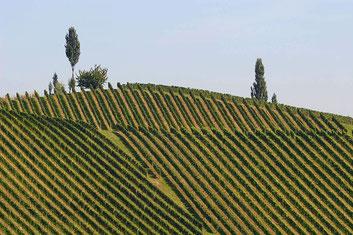 sanft geschwungene Weinberge in der Südsteiermark