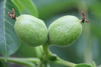grüne Nüsse unreif