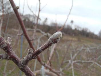 りんごの花芽