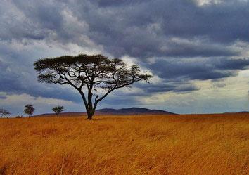 Acacia de Africa