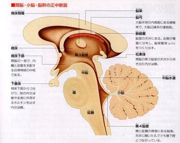 狭義の脳幹は「中脳、橋、延髄」を言う