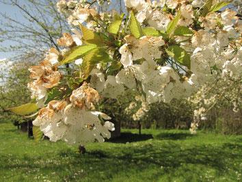 Obstblüte Obstwiese Gartenbauverein Puch