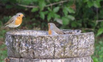 Vogelbad mit Rotkehlchen