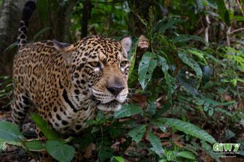 Jaguar in Bolivien