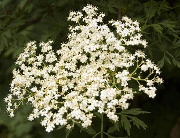 'Laciniata' - Blütenstand