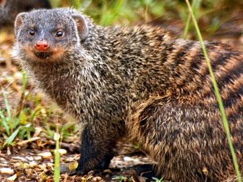 Mangusta striata - Banded mongoose (Mungos mungo)