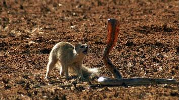 Mangusta Vs. Cobra