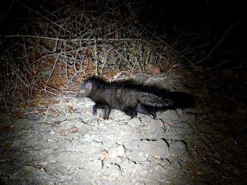 Mangusta di Sokoke - Sokoke Bushy Tailed Mongoose (Bdeogale crassicauda omnivora)