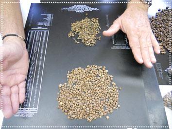 Unreife, geschädigte oder verschimmelte Bohnen werden aussortiert.