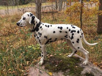Kryddhundens Ice Vanilla 17.10.2016