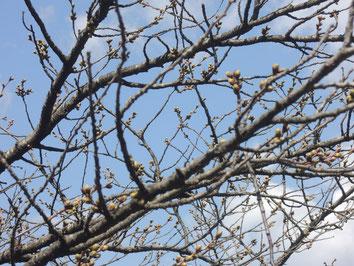 昨日盛岡城跡公園にて撮影。ソメイヨシノのつぼみも大きくなってきました!