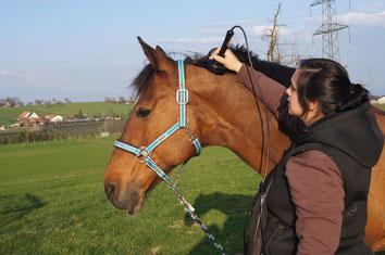 Lasertherapie, Pferd