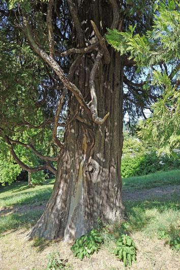 Weihrauchzeder im Goldschmidt-Park in Seeheim-Jugenheim