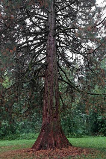 Riesenmammutbaum im Gewann Hardt in Tuttlingen