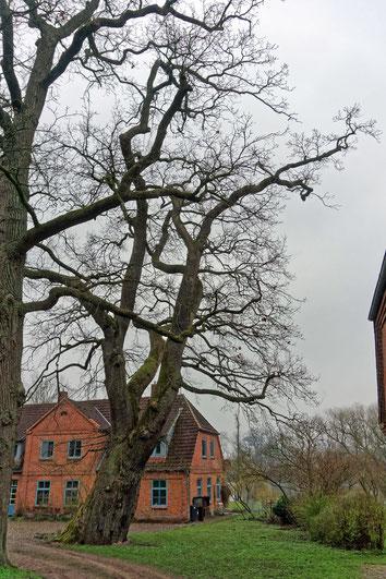 Geschwungene Zwieseleiche auf Gut Marutendorf