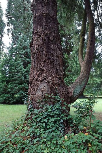 Douglasie im Schlosspark Friedrichshof bei Kronberg