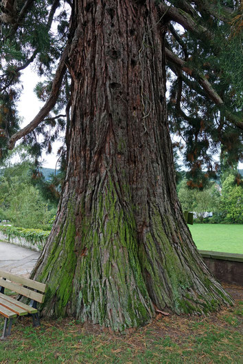 Riesenmammutbaum auf dem Friedhof in Ochsenbach