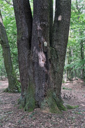 Fünf-Brüder-Eiche beim Forsthaus Barsberg bei Seehausen