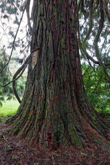 Riesenmammutbaum in der Nähe der Landesklink Nordschwarzwald bei Hirsau