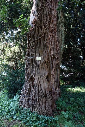 Japanischer Schnurbaum im Hohenheimer Garten in Hohenheim