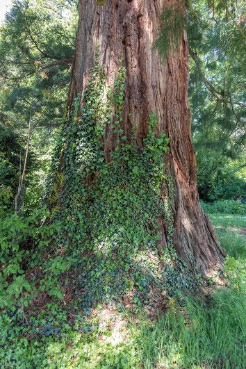 Riesenmammutbaum beim Schloss Friedrichsruhe in Friedrichsruhe