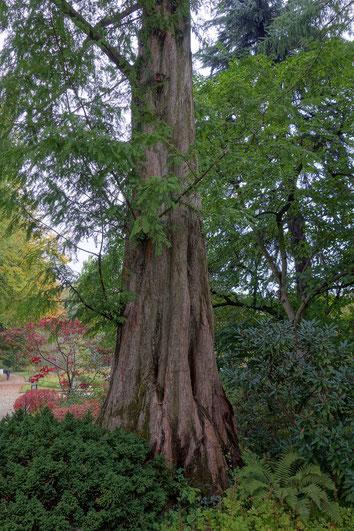 Urweltmammutbaum im Botanischen Garten in Frankfurt