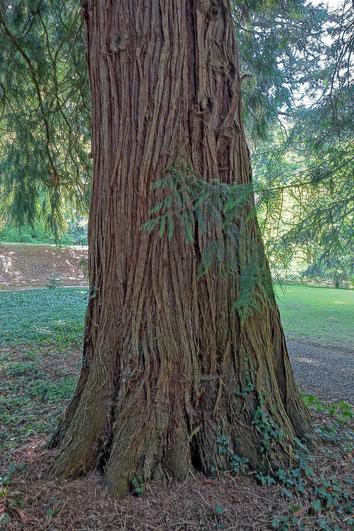 Riesenlebensbaum im Schlosspark Bodman in Bodman