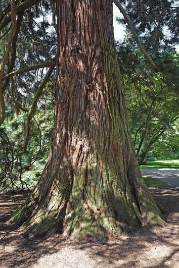 Riesenmammutbaum auf der Insel Mainau
