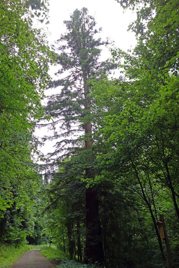 Küstenmammutbaum im Exotengarten bei Weinheim
