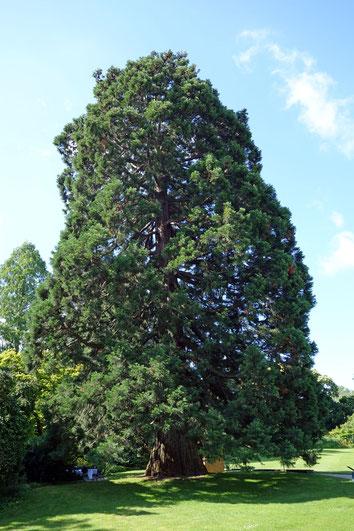 Riesenmammutbaum im Schau- und Sichtungsgarten Hermannshof in Weinheim