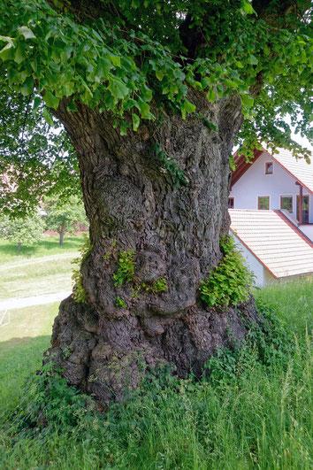Linde in Mannholz