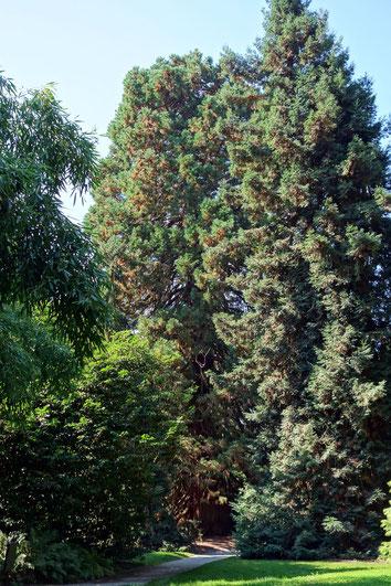 Zitzenmammutbaum auf der Insel Mainau