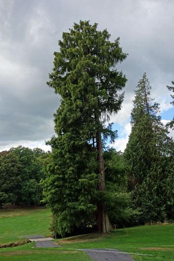 Sumpfzypresse im Schlosspark Friedrichshof bei Kronberg