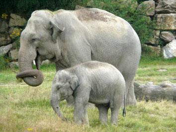 fiche animaux elephant afrique contre asie
