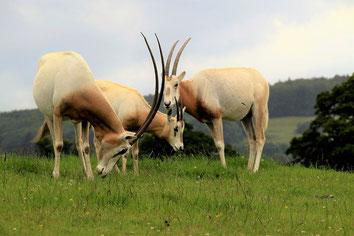 fiche animaux oryx gazelle contre oryx algazelle