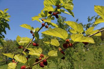shiraishi jima mulberry organic fulit