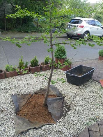 Neupflanzung nach erfolgreicher Baumfällung in Köln
